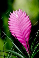 GORGEOUS BROMELIAD SEEDS, (Pink) 20 Seeds