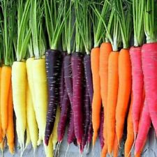 100 Rainbow Carrot Seeds Mix Vegetable Multicolour Garden Purple Red Unique Seed