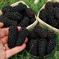 100Pcs Giant Thornless Blackberry Seeds Medicinal Antioxidant Fiber Healthful