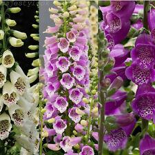 Digitalis Foxy Mix 10000 Seeds Minimum Colourful Garden Flower Plant. Foxglove