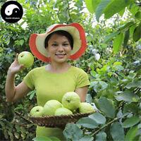 Buy Real Guava Fruit Tree Seeds Plant Fruit Psidium Guajava Grow Fan Shi Liu