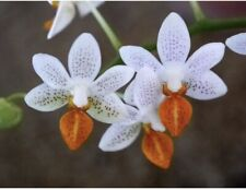 New listing Orchid Phalaenopsis Phal Mini Mark in Spike to bloom.