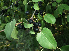 Common Buckthorn - Rhamnus Cathartica - 25 seeds -  Shrub - Berries - Hedging