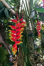 Heliconia Rostrata, Hanging Lobster Claw, False Bird of Paradise, live rhizome