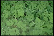 423003 foglie dell' olandese Calzoncini linea A4 FOTO STAMPA texture