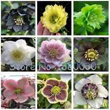 Different Colors of Japanese Bonsai Potted Helleborus Flower Seeds Diy.
