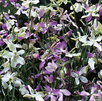 Night Scented Stock Seeds Matthiola Bicornis Annual Flower 5g Approx 7500 Seeds