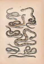 Schlangen Ringelnatter Kreuzotter Brillenschlange Klapperschlange LITHO 1880