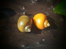 New listing Mystery Snails! (Pomacea Bridgesii) Jade and Gold! Food and Vitamins