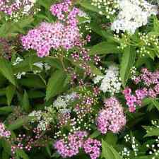 "FREEPOST ALL LABELED 3 X MIXED SPIRAEA PLANTS 3.5/"" POTS"