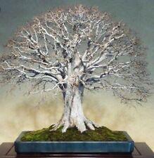 Japanese Elm Zelkova. Ideal Outdoor bonsai tree! Fresh seeds! Beautiful tree!
