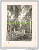 COCOA-NUT PLANTATION IN CEYLON (SRI LANKA), Book Illustration c1890