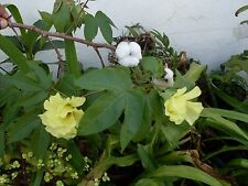 ***1000 FRESH SEEDS*GOSSYPIUM BARBADENSE*COTTON PLANT*FREE SHIPPING*