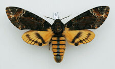 Sphingidae - Acherontia styx styx - Eastern Death's Head Hawk Moth - female #6