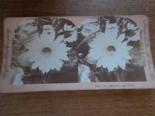 Antique Stereoscope Image Night Blooming Cereus Flower Meadville PA St Louis USA