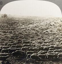 Keystone Stereoview of 3,000 Sheep on Montana Range From Rare USA 100 Card Set