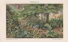 BOTANIK Lungenkraut Leberkraut Eisenhut LITHOGRAPHIE um 1900 Waldpflanzen