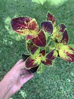 """Coleus Live 1 Plant Rooted 4+"""" Tall Beautiful Gift Organic"""