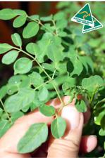 Vegan Gluten Free Kosher Herbal Leaf Tea Bags / BUY 3 GET 1 FREE