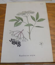 1834 Medicinal Plant COLOR Print///ELDERBERRY, or SAMBUCUS NIGRA