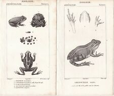 1816 -3 Antique Engravings - Anurans - Surinam Toad & Green Frog - Pierre Turpin