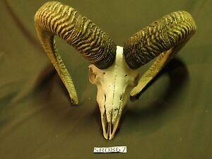 Huge Transcaspian Urial ram skull rustic western decor wildilfe SR0867