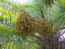 PHOENIX RECLINATA 10 semi seeds Palma del Senegal Wild date palm