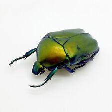 Green Scarab Beetle (Protaetia speciosa) Insect Collector Specimen Art