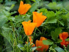 App 100 Seeds California Poppy Orange Flower color wildflower Overstock