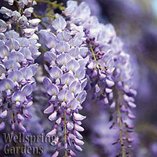 WISTERIA VINE Wisteria frutescens 'Amethyst Falls'   Flowering LIVE Plant