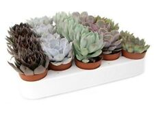 Set of 5 mixed echeveria plants, pots 5.5 cm