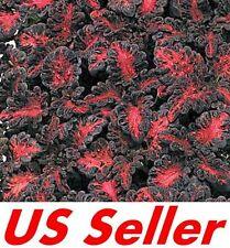 50+ Seeds Black Dragon Coleus Flower B92, Shade Loving Annual US Seller