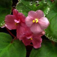 African violet Playful Kisses live plant in pot