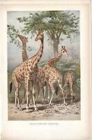 SOUTH AFRICAN GIRAFFES. Antique Vintage Lydekker ColourED Lithograph Pub.1895.