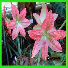 5bulds- Amaryllis Bulbs,True Hippeastrum Bulbs Flowers-pink  (Not seeds)