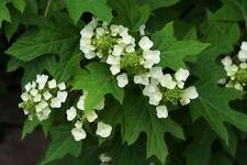 HYDRANGEA QUERCIFOLIA V18 piant plant Ortensia foglia di quercia