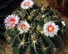 Ferocactus macrodiscus cacti rare cactus seed 10 Seeds