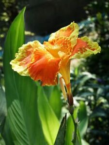 Canna carnaval (XXL leaves Canna) Tropical look. Plants Delivered to your door