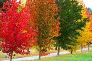 50 Baum Samen Amerikanischer  Amberbaum Liquidambar styraciflua, Storax,