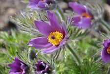 50 seeds Anemone violet purple xeriscape Pasque Flower Pulsatilla +gift