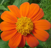 Tithonia Goldfinger Rotundifolia Mexican Sunflower 1g Approx 100 Flower Seeds