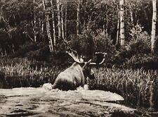 1925 Vintage CANADA ~ Swimming Moose River New Brunswick Animal Nature Photo Art
