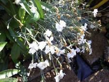 Oeillet mignardise , fleur blanc, 15 graines, vivace
