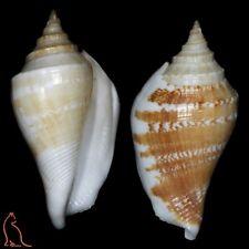 Strombus Margistrombus marginatus, Thailand, Strombidae sea shell