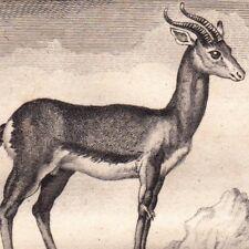 Gravure XVIIIe Gazelles Gazelle Kevel Gazella Ghazâl Bovidés  Buffon 1790