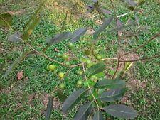 Sri Lanka salvaje Guayaba/Guayaba más pequeña guayaba ácida Muy Raro 5 semillas más finos