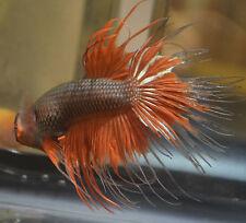 live betta fish- IMPORTED MALE- FANCY CRWONTAIL BUTTERFLY
