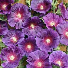 50+ Purple Hollyhock Flower Seeds / Alcea / Perennial