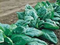 600 Seeds Spinach Seeds Olympia Spinach F1 Bulk Seeds