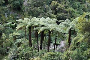 NZ Black Tree Fern (Cyathea medullaris) 500 Fresh Spores